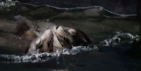 Zeehonden liefde