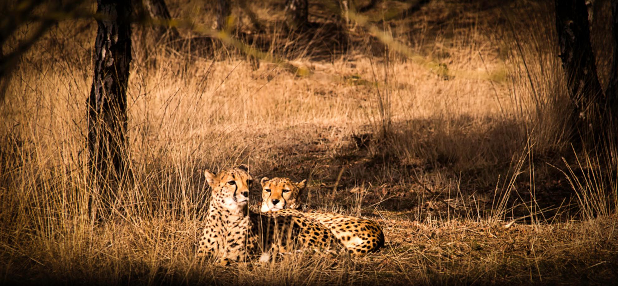 Lekker in het zonnetje - Cheetah's in de zon bij Safaripark Beekse Bergen - foto door canon85 op 29-02-2016 - deze foto bevat: dierentuin, natuur, dieren, safari, afrika, wildlife, luipaard