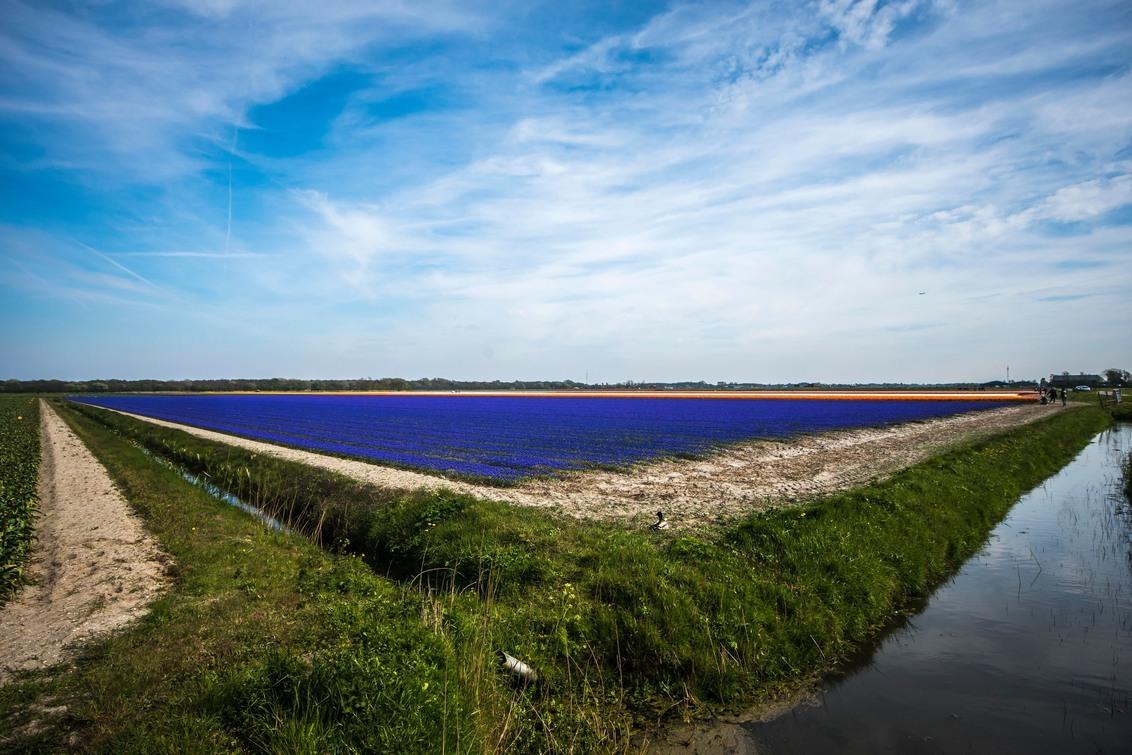 Nu nog onder stro blauwe druifjes - Deze blauwe druifjes zijn van een tijdje terug maar die van dit jaar zitten nog onder het stro maar komen eraan. - foto door rits op 17-03-2021 - deze foto bevat: voorjaar, blauwe druifjes, egmond binnen