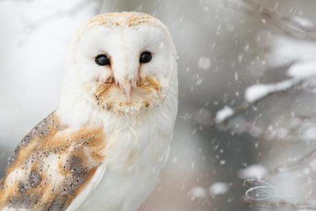 Kerkuiltje in de sneeuw