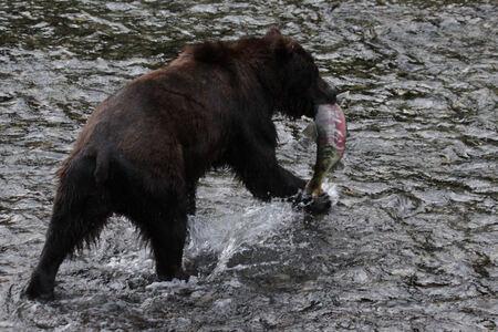 Grizzly Beer met Zalm - Er is een plek in Alaska, vlak over de grens met Canada, waar je een fantastische mogelijkheid hebt om in de maand augustus de Grizzly beren kan zien - foto door dunawaye op 30-08-2011 - deze foto bevat: canada, beer, grizzly, stewart, Bruine Beer, Alaska Hyder
