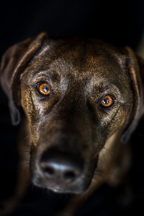 De intense hondenogen