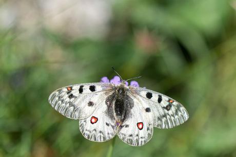 Alpen apollovlinder