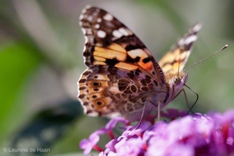 Vlinder op de vlinderstruik