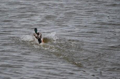 Duck speed