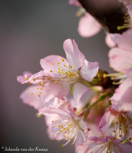 Prunus - - - foto door Jolanda050 op 03-04-2021 - deze foto bevat: roze, macro, bloem, lente, tuin