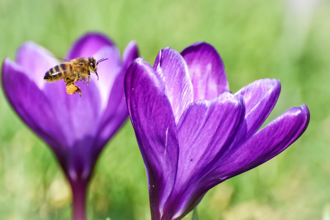 Bloemetjes en een bijtje.. - - - foto door GabriellavanHeezik op 25-02-2021 - deze foto bevat: groen, paars, macro, bloem, lente, natuur, bij, licht, insect