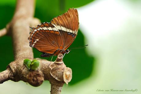 Vlinder......