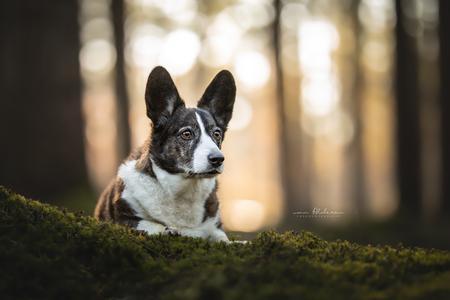 Hester - De prachtige Welsh Corgi Hester liggend op het mos in een mooi bos met veel bokeh en zachte herfstkleuren. - foto door foscofotografie op 18-12-2020 - deze foto bevat: natuur, herfst, mos, portret, dieren, huisdier, bos, hond, honden, tegenlicht, dier, canon, zonlicht, scherptediepte, bokeh, dierenfotografie, hondenfotografie, dierenfotograaf, hondenfotograaf, welsh corgi