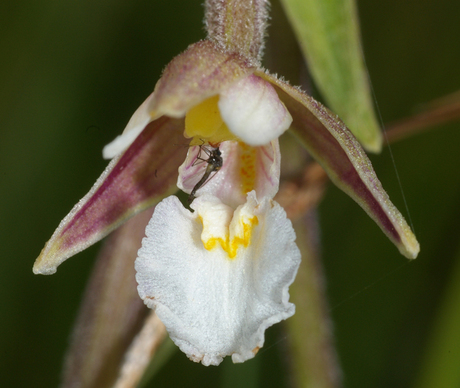 wespen orchus