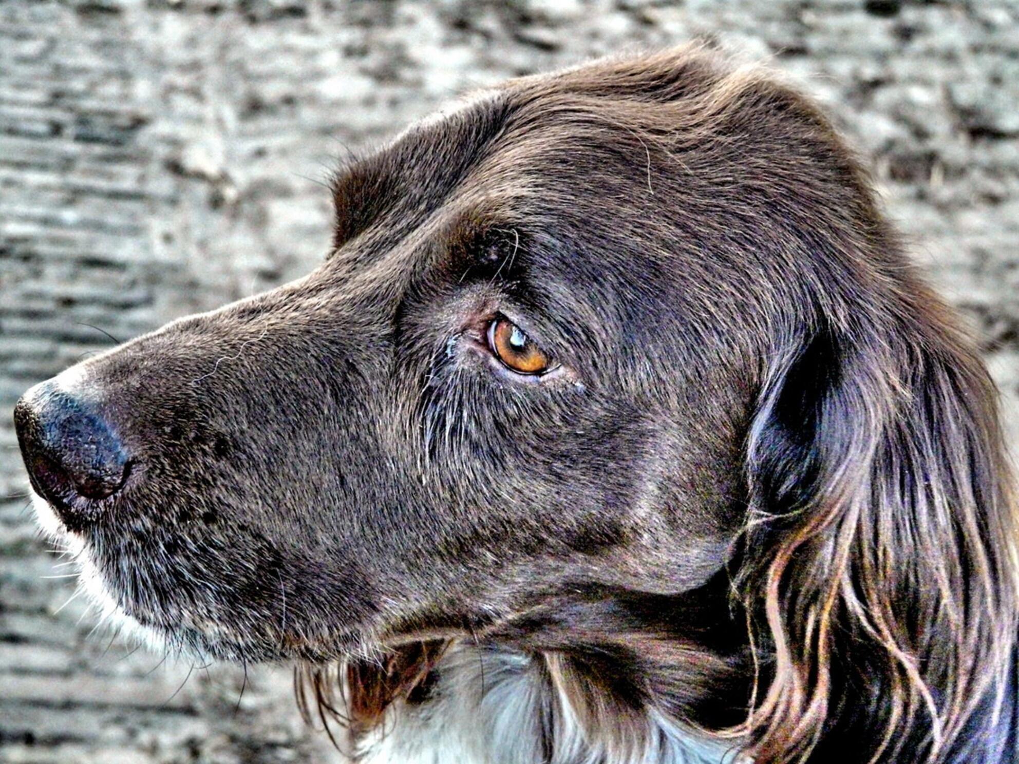 Dieren serie 15. Oude hondekop - Deze oude hond kwam ik tegen tijdens een wandeling in Spanga - foto door oudmaijer op 25-03-2009 - deze foto bevat: oud, dieren, hond, beest, oude, serie, viervoeter, hondekop