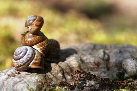 Coquilles d'escargot