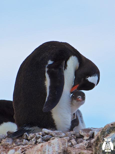 Antarctica - Gentoo pinguin met chick