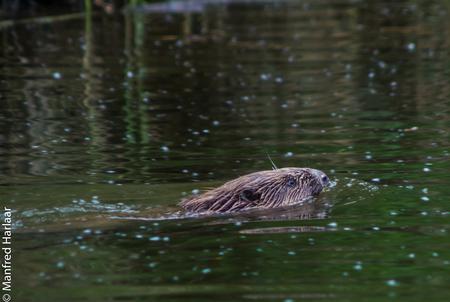 beavershot - Wilde bever in het water van de Biesbosch - foto door mcharlaar op 29-05-2015 - deze foto bevat: water, voorjaar, biesbosch