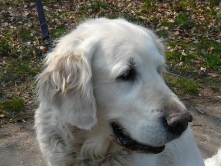 Dieren serie 16 wat kijkt hij lief he - Met een wandeling door het park in huizen kwam hij aangewandelt met zijn baasje en ging meteen er mooi voor zitten. gr Bob. - foto door oudmaijer op 31-03-2009 - deze foto bevat: natuur, dieren, hond, hondekop, viervoetig