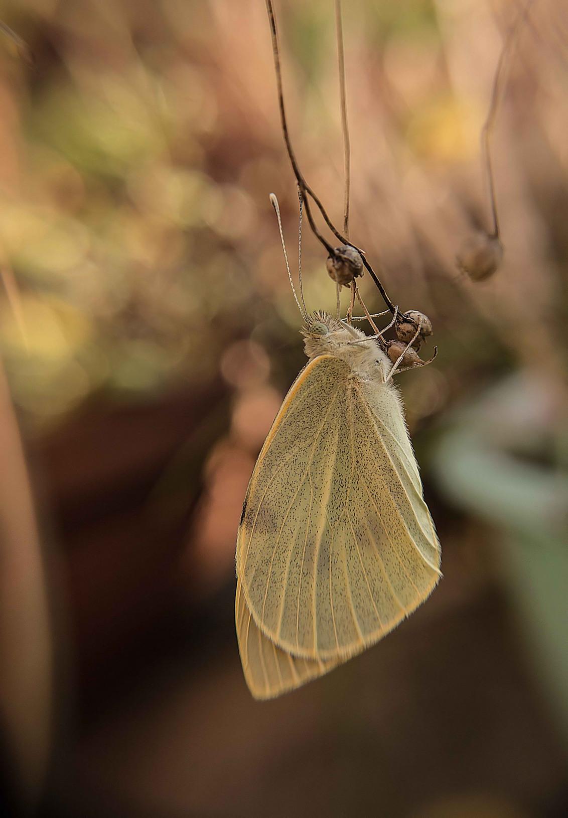 Te vroeg uit de pop?.......een beauty int groot.... - Jammer genoeg is dit Groot Koolwitje te vroeg uit de pop gekomen?. Ik denk dat het komt door het aanhoudend warme weer.....de vliegtijd is normaliter - foto door onnekemeijer op 28-10-2014 - deze foto bevat: groen, macro, natuur, vlinder, bruin, geel, herfst, bokeh