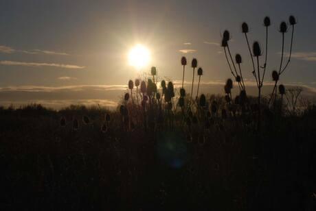 Dipsacus Sunset