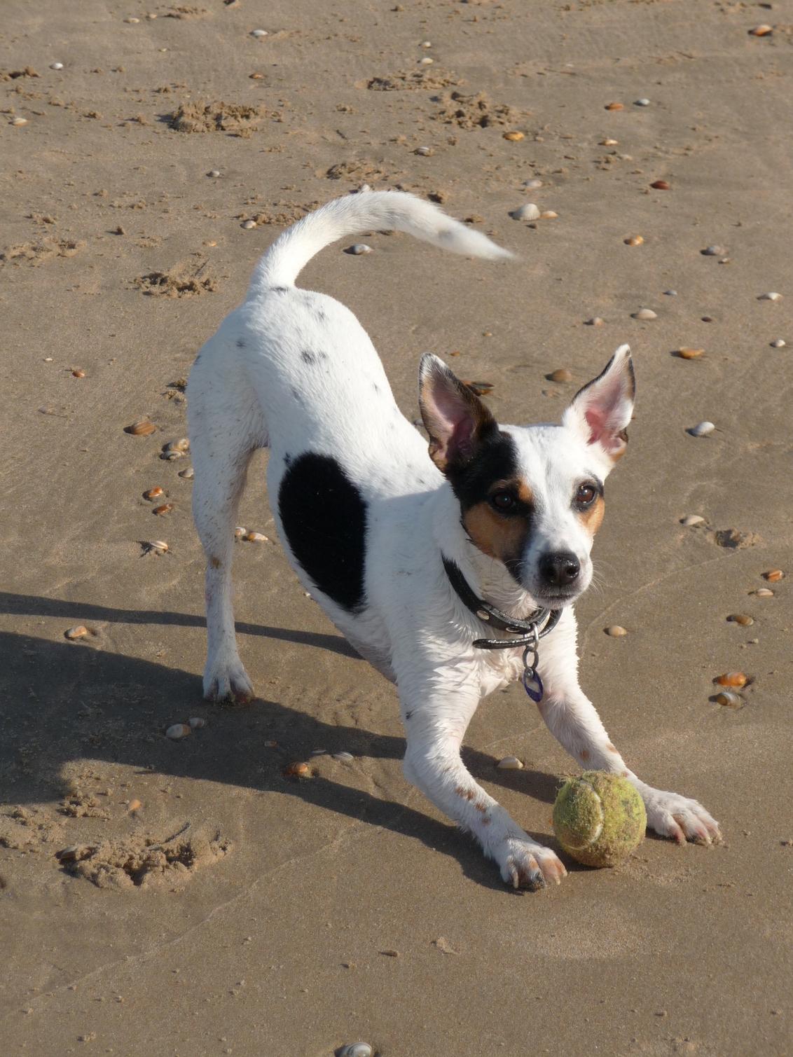 Koko - Dit is Koko. Een echte speelkameraad.  Op het strand is hij helemaal in zijn sas. - foto door maarten1971 op 26-05-2009 - deze foto bevat: strand, hond, jack, russel, parson, speelkameraad, koko