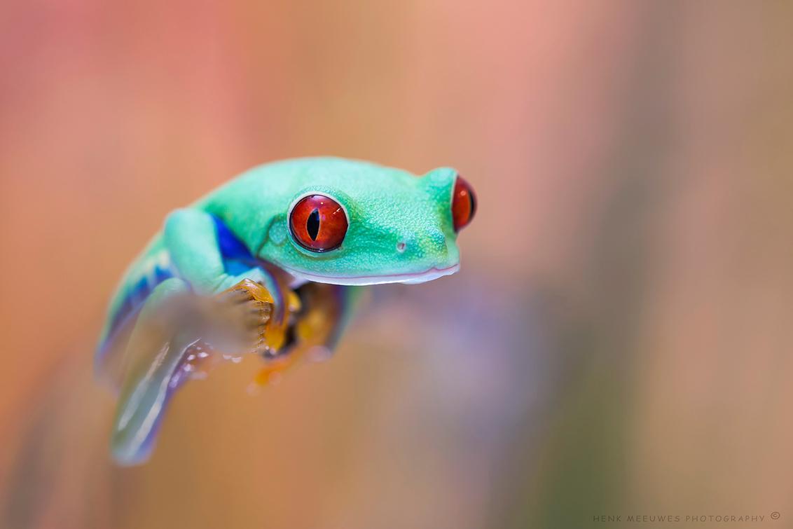 His first shoot - Dit kikkertje heb ik nog niet zo lang. Een mooie roodoogmaki, en rode ogen heeft hij zeker.  Zo relaxed als hij was, bleef lekker rustig zitten en - foto door h.meeuwes op 15-12-2019 - deze foto bevat: rood, kleur, macro, kikker, portret, oog, contact, tropisch, dof, boomkikker, bokeh, agalychnis, groot diafragma, roodoogmaki