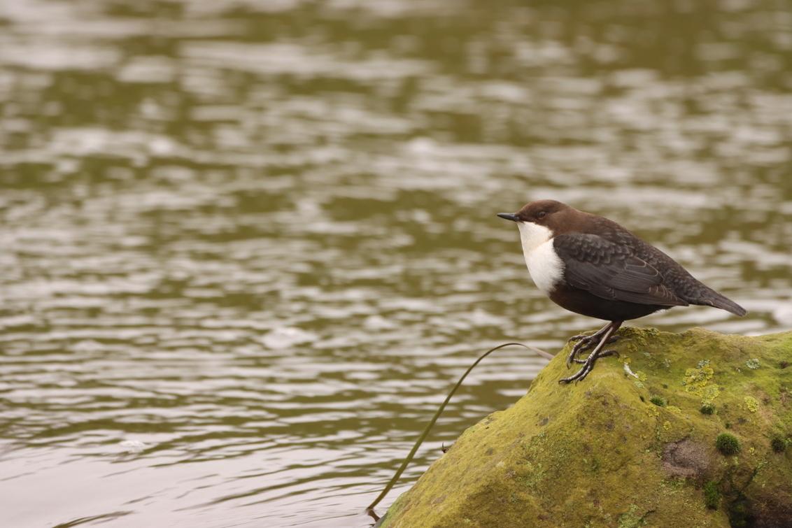 Waterspreeuw - - - foto door KarinVeenema op 17-12-2020 - deze foto bevat: vogel, watervogel, wildlife, waterspreeuw, dipper, wasseramsel
