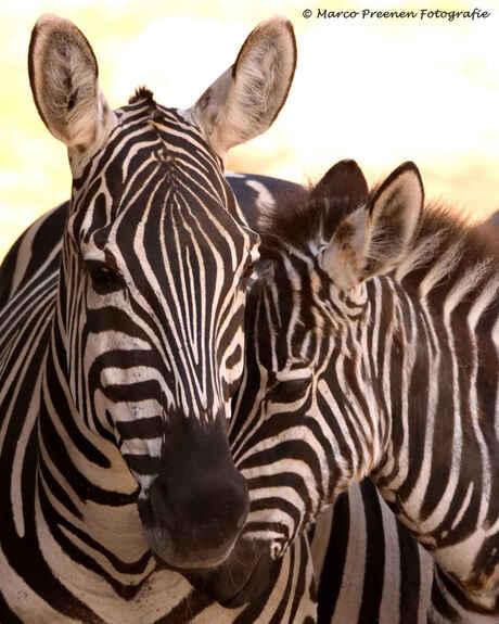 Zebra's Wildlands