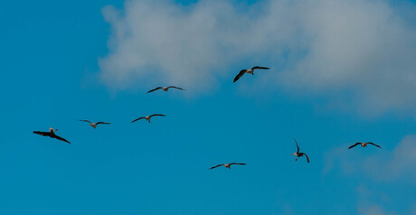 ganzen boven Noord-Holland