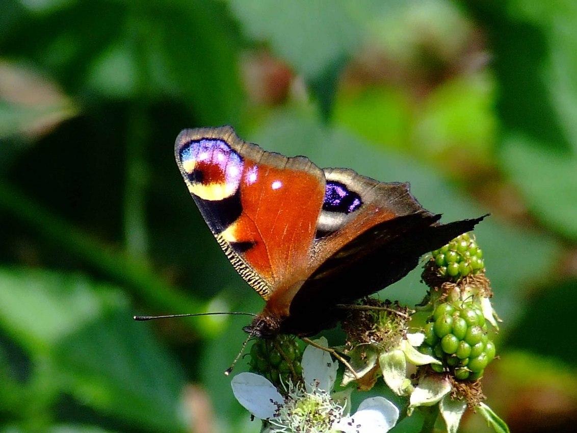 vlinder - - - foto door TrudyH op 28-04-2009 - deze foto bevat: macro, lente, natuur, vlinder, dieren, voorjaar, vlinders