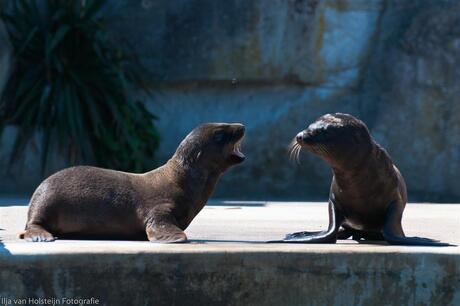 Jonge zeeleeuwen