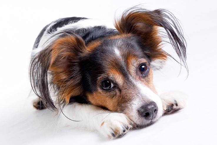 Bep - Dit is onze hond Bep, een jack russel terriër! Alhoewel geen raszuivere zoals jullie kunnen zien.. Maar wel ontzettend lief en is erg fotogeniek!:) - foto door OnlyGirl op 06-01-2010 - deze foto bevat: hond, dier, bep, Jack Russel