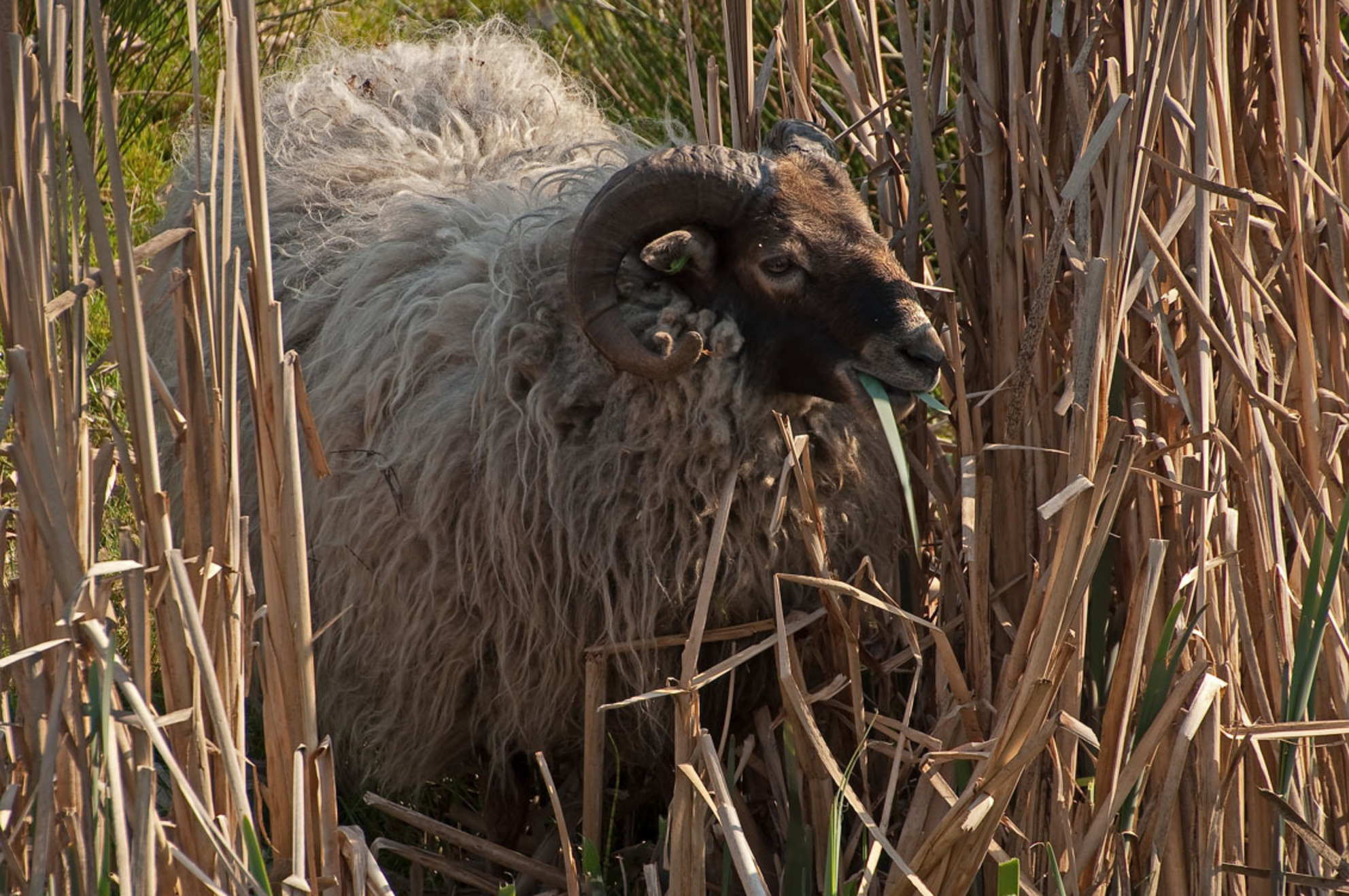 Drents heideschaap - Tijdens een wandeling in de omgeving wilde dit Drentse heideschaap wel even poseren - foto door accbun op 14-04-2019 - deze foto bevat: lente, natuur, dieren, voorjaar, nederland, drents heideschaap