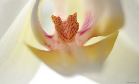 orchid ll
