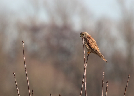 Torenvalk (Falco tinnunculus) Ooijpolder
