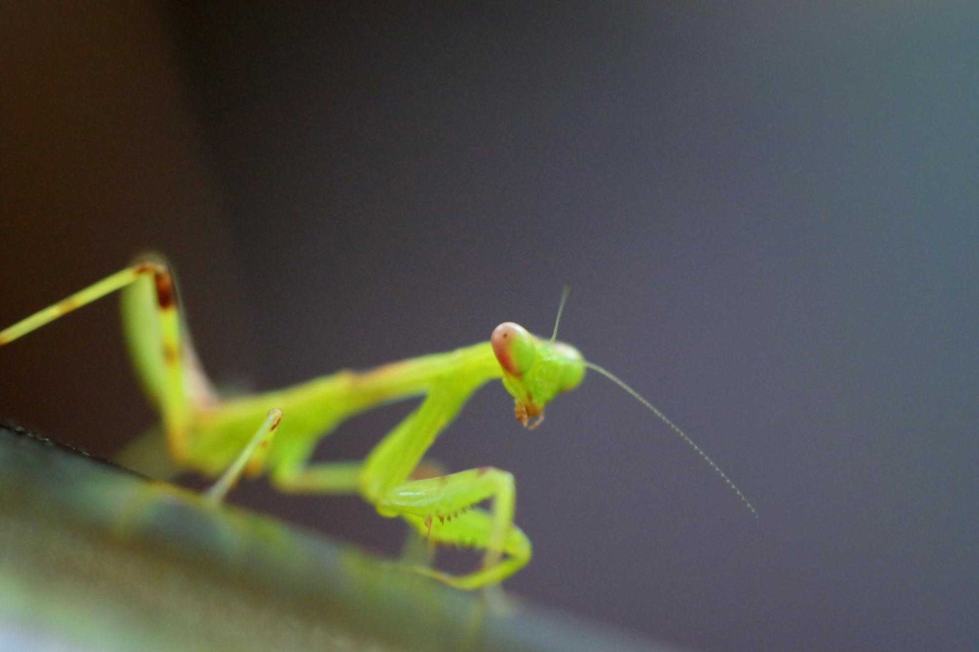 bidsprinkhaan - deze rakker tegen gekomen op vakantie op Bali. Hij was nog heel klein zo'n 2,5cm. - foto door sarinaw op 26-07-2015 - deze foto bevat: groen, macro, insect, bali, bidden, bidsprinkhaan