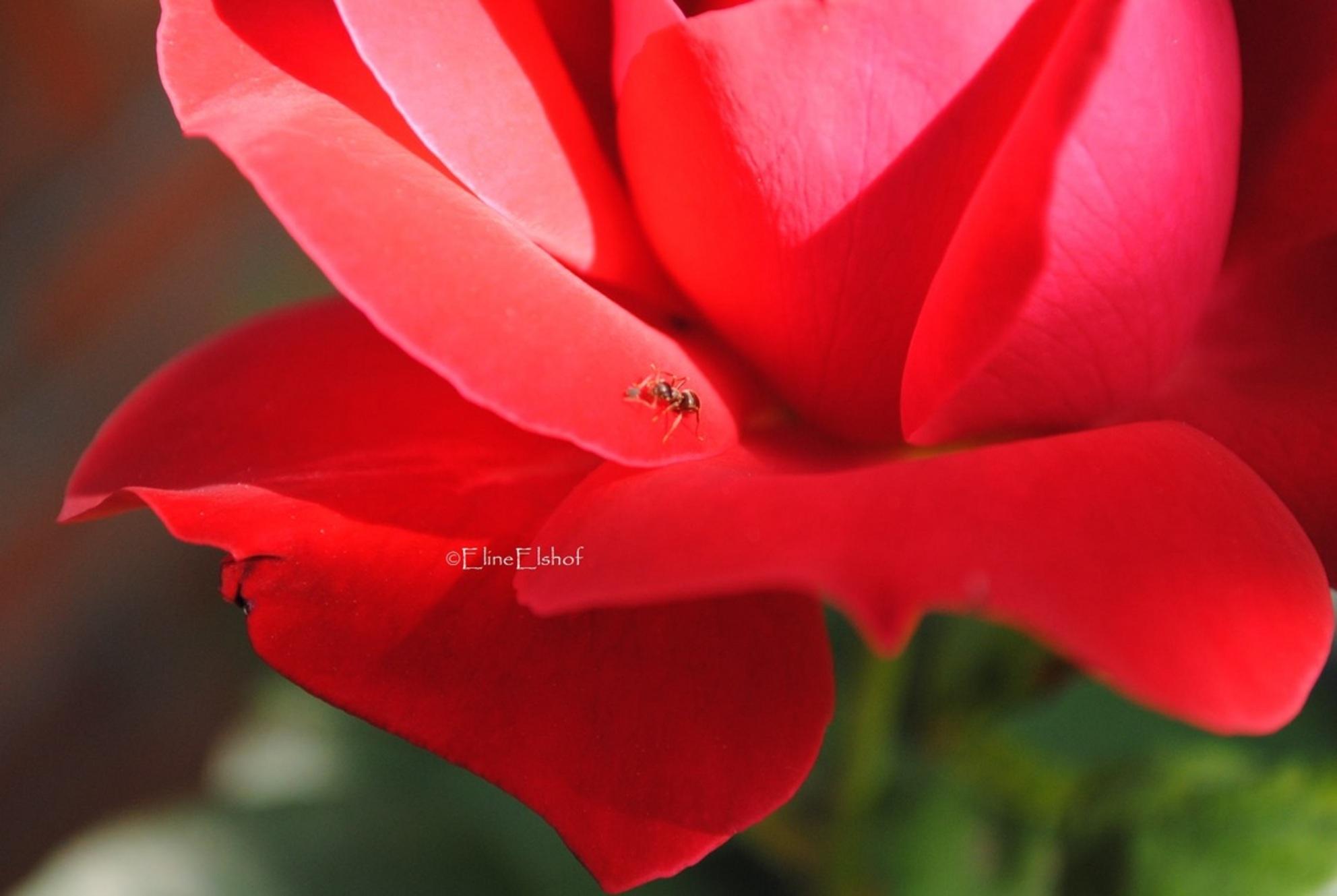 Roos met mier. - Deze foto is gemaakt met camera Nikon D3000. - foto door elineelshof op 27-06-2011 - deze foto bevat: roos, mier, micro