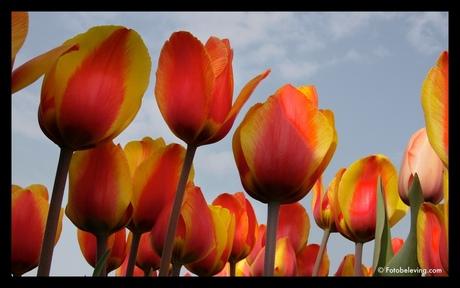 Tulpen (voorjaar)
