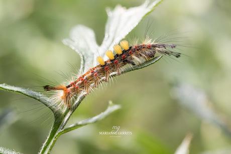 Rups van Witvlakvlinder