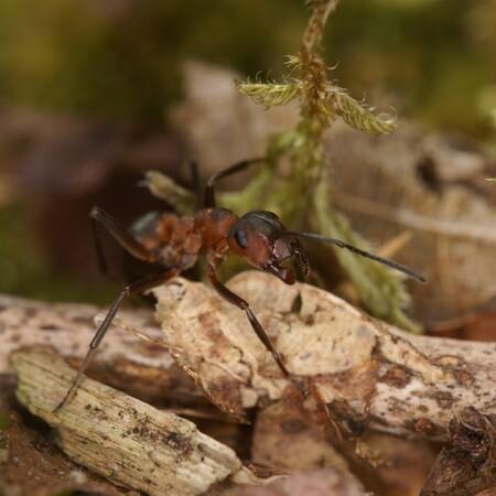 DSC03105 - - - foto door teusk op 16-01-2016 - deze foto bevat: macro, natuur, mier, insect, bosmier, teus kooij