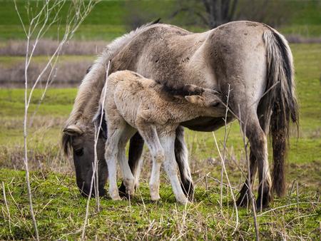 konik met veulen - In Loowaard drinkt een veulentje bij de merrie - foto door aloyss op 28-02-2021 - deze foto bevat: natuur, paard, dieren