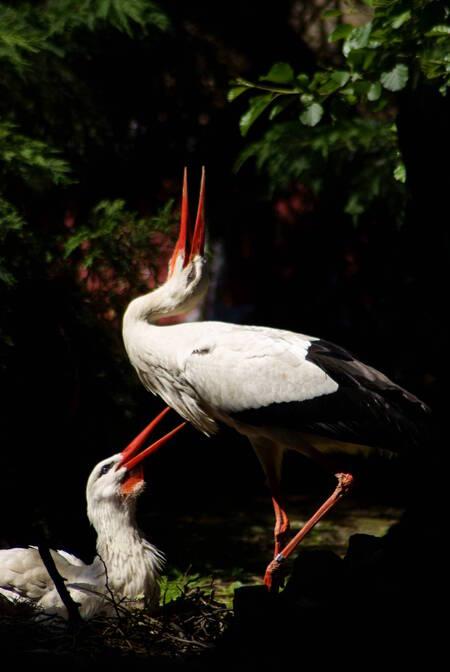 Ooievaarsgroet - Zaterdag in Avifauna genomen, soms zou je ook willen dat je het geluid wat dieren maken erbij kun vastleggen. Deze 2 ooievaars begroeten elkaar. Het  - foto door TrudyH op 31-05-2009 - deze foto bevat: natuur, vogels, ooievaar, dieren, vogel, broeden, trudyh