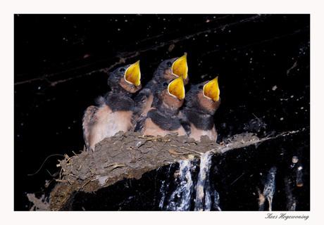Een nestje zwaluwen