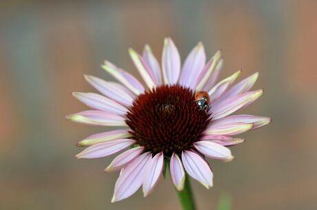 Zonnehoed met lieveheersbeestje