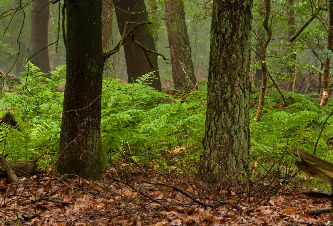 varens - Varens in de bossen bij Lunteren. - foto door goverts op 20-11-2010 - deze foto bevat: varens, lunteren