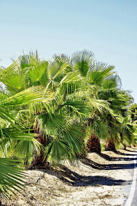 Palmen langs de weg 2