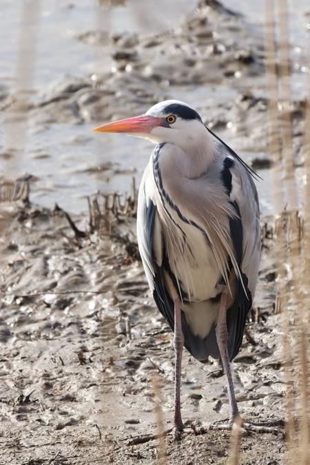 Blauwe reiger - - - foto door Goud1993 op 27-02-2021 - deze foto bevat: reiger, watervogel, wildlife