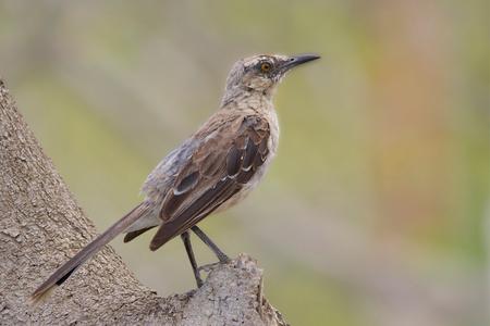 Tropische spotlijster (Curaçao) - - - foto door gras4711 op 22-02-2015 - deze foto bevat: natuur, dieren, safari, vogel, lijster, amerika, wildlife, cariben