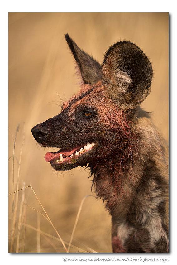 Killer Dog - In South Luangwa volgden we een roedel wilde honden op jacht. Efficiënte jagers als ze zijn, haalden ze in een half uur tijd twee puku's (antilopes)  - foto door IngridVekemans op 16-06-2019 - deze foto bevat: natuur, dieren, safari, hond, afrika, wildlife, zambia, workshop, fotoreis, fotoreizen, wilde hond, fotosafari, south luangwa