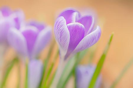 Lente - - - foto door cdgrf op 24-02-2021 - deze foto bevat: groen, macro, bloem, lente, natuur, krokus, krokussen