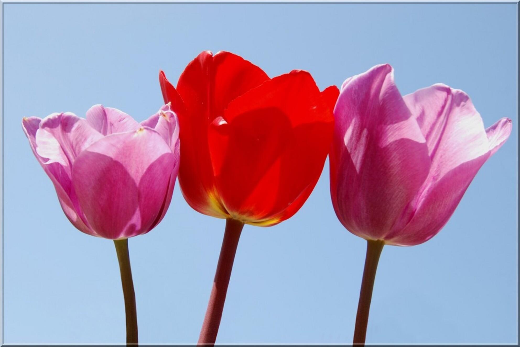 roze-rood-roze - Ook deze lekker fleurige tulpen heb ik gefotografeerd in de floratuin (omschr. zie vorige foto)  Ben even behoorlijk computermoe. Baal hevig van da - foto door ingrid.m op 27-05-2010 - deze foto bevat: roze, rood, tulpen, bloemen, bloembollen, tulpenbollen