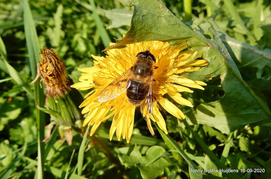 zzzzzzzzzzzzz - als je steeds goed om je heen kijkt, dan zie je soms leuke dingen. dit is er ook zo eentje... groetjes en een zonnige zaterdag voor iedereen - foto door Tonny1946 op 19-09-2020 - deze foto bevat: gras, groen, bij, bruin, geel, paardenbloem, insect, nieuwegein, nazomer, september 2020