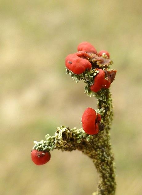 Bloeiend mos (Rode heidelucifer)